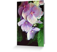 Hydrangeas in pink and mauve. Greeting Card