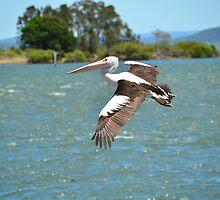 Australian Pelican (Pelecanus Conspicillatus) by Geoff Beck