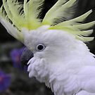 Sulphur Crested Cockatoo - Science Park, South Australia by Dan & Emma Monceaux