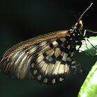 Butterfly! by KiriLees
