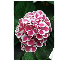 Soft Red and White Hydrangeas Poster