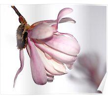 Magnolia - Magnolia Mist Poster