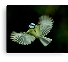 In flight Blue Tit Canvas Print