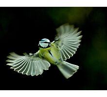 In flight Blue Tit Photographic Print