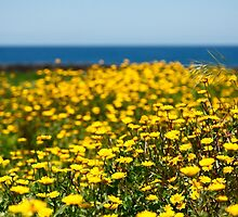 Field of yellow daisies by Gaspar Avila