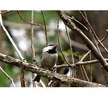 Mountain Chickadee ~  Deschutes National Forest ~ Bend, Oregon  Photographic Print