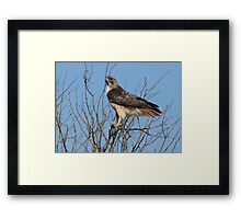 Red-Tailed Hawk ~ Grasping for branches........ Framed Print
