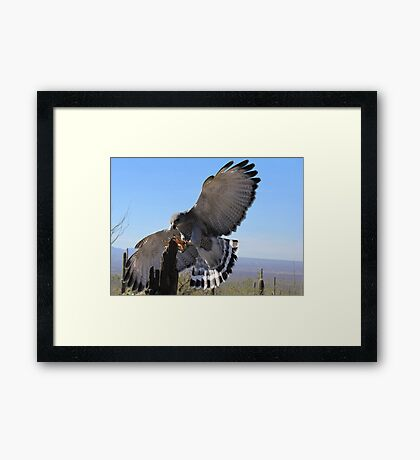 Gray Hawk ~ Brake Check! Framed Print