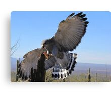 Gray Hawk ~ Brake Check! Canvas Print