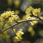 Dogwood by marens