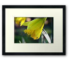 First Bloom...... Daffodil's Framed Print