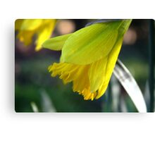 First Bloom...... Daffodil's Canvas Print