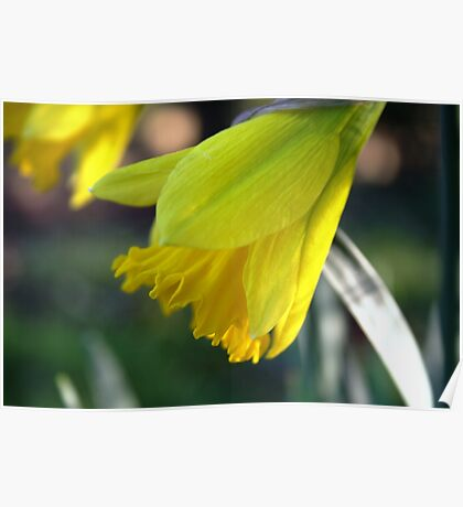 First Bloom...... Daffodil's Poster