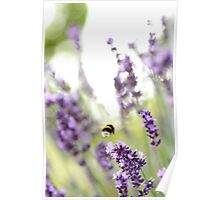 Bumble Bee in Lavender Poster
