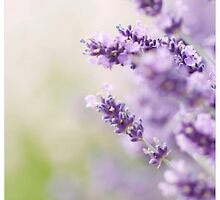 Pretty Lavender by AlysonArtShop