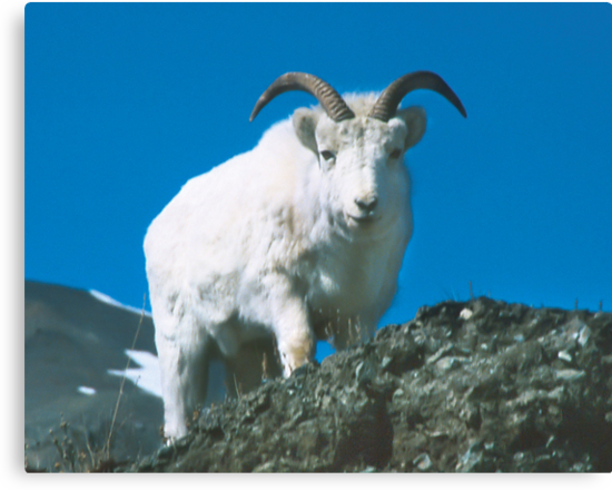 Dall Sheep at Sheep Mountain by Yukondick