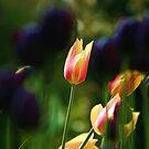 Tulips by Martina Fagan