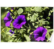 Flower Power! Purple Petunias Poster