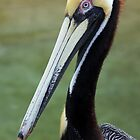 Brown Pelican by RebeccaBlackman