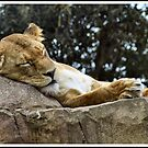 Sleeping Lioness by Michelle Booth