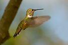 FEMALE RUFOUS HUMMINGBIRD by Sandy Stewart