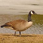 goose at the park by KathleenRinker