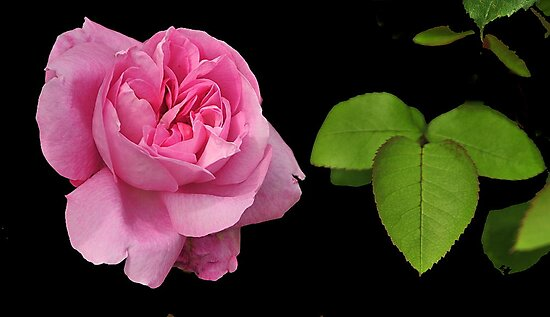 PINK ROSE ~ by RoseMarie747