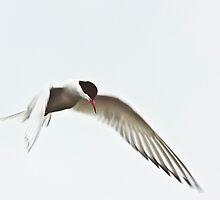 Arctic Tern (Sterna paradisaea) by Gabor Pozsgai