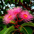 Pink Gum Blossoms by dogwalker