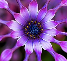 Soprano - Lilac Spoon African Daisy by T.J. Martin