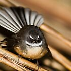 New Zealand Fantail by Kimball Chen