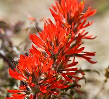 Indian Paintbrush Spiral by Kim Barton