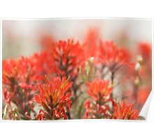 Indian Paintbrush Dream Poster