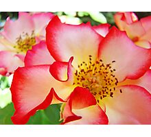 Colorful Bright Rose Pink White Red Flower Baslee Troutman Photographic Print