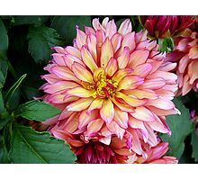 Red-Bordered Dahlia Photographic Print