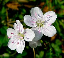 Spring Beauty Wildflower - Claytonia virginica by MotherNature