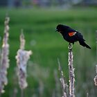 Red Winged Black Bird by Sheri Bawtinheimer
