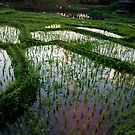 Dusk In The Rice Paddies by phil decocco