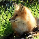 Red Fox by AuntDot