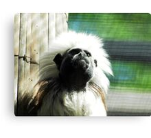 cotton-headed tamarin (Saguinus oedipus) @ AQUARIUM Canvas Print