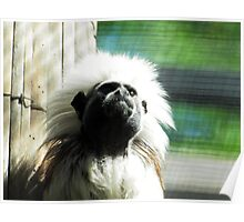 cotton-headed tamarin (Saguinus oedipus) @ AQUARIUM Poster