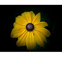 Black Eyed Susan and the Ant Photographic Print