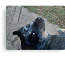 JESSE THE BLUE CATTLE  Metal Print