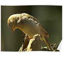 brown sparrow Poster