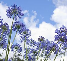 African Lily (Agapanthus) by rajeshbac