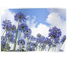 African Lily (Agapanthus) Poster