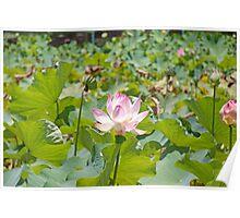 lotus (Nelumbo nucifera) Poster