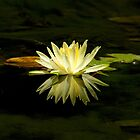 Yellow water lily by JennyLee