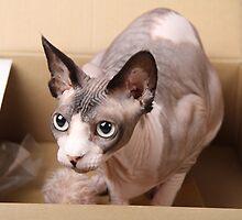Sphynx in a box by xTRIGx