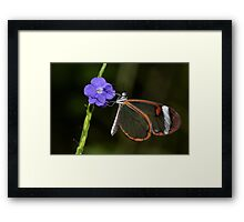 Glasswing at dawn..... Framed Print